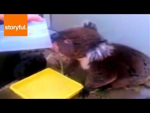 Thirsty Koala Enjoys a Drink