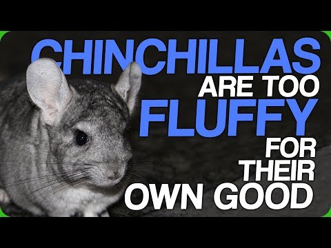 Chinchillas Are Too Furry For Their Own Good (Look After Your Pets)