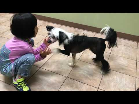 chinese crested dog  034  exam and vaccine