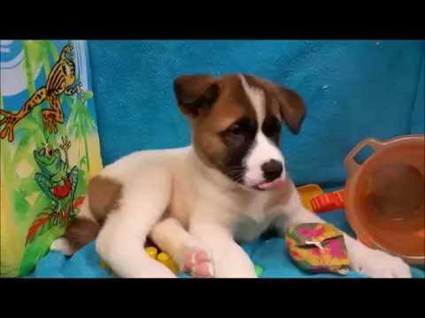 Male Akita Puppy