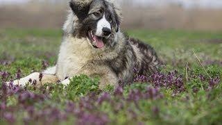 Ciobănesc Românesc Carpatin / Rumanian Sheepdog