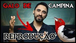 COMO REPRODUZIR EM CATIVEIRO O GALO DE CAMPINA!
