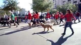 2011 Florida Poodle Rescue Adopted And Foster Poodles Particiapte In St. Pete's Santa Parade