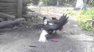Ayam kawin sama entok