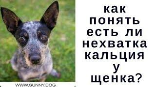 Не хватает кальция щенку.Как понять так ли это?  Нехватка кальция  и другие проблемы.