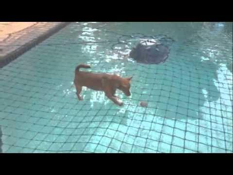 Dog walking on swimming pool net