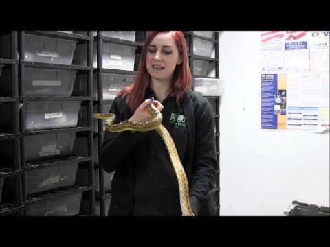 Adult Female Sonoran Gopher Snake