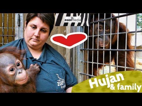 BABY Orang-Utan HUJAN 😍 trifft seine Familie im ZOO KREFELD | zoos.media