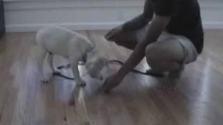 10 Week Old Labrador Puppy Training