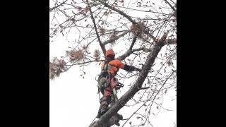 해송,천리포수목원 고사목 위험목제거