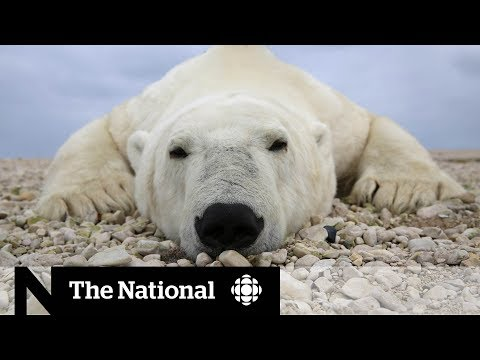 Polar bears in peril: The bleak future of the Churchill bears | In-Depth