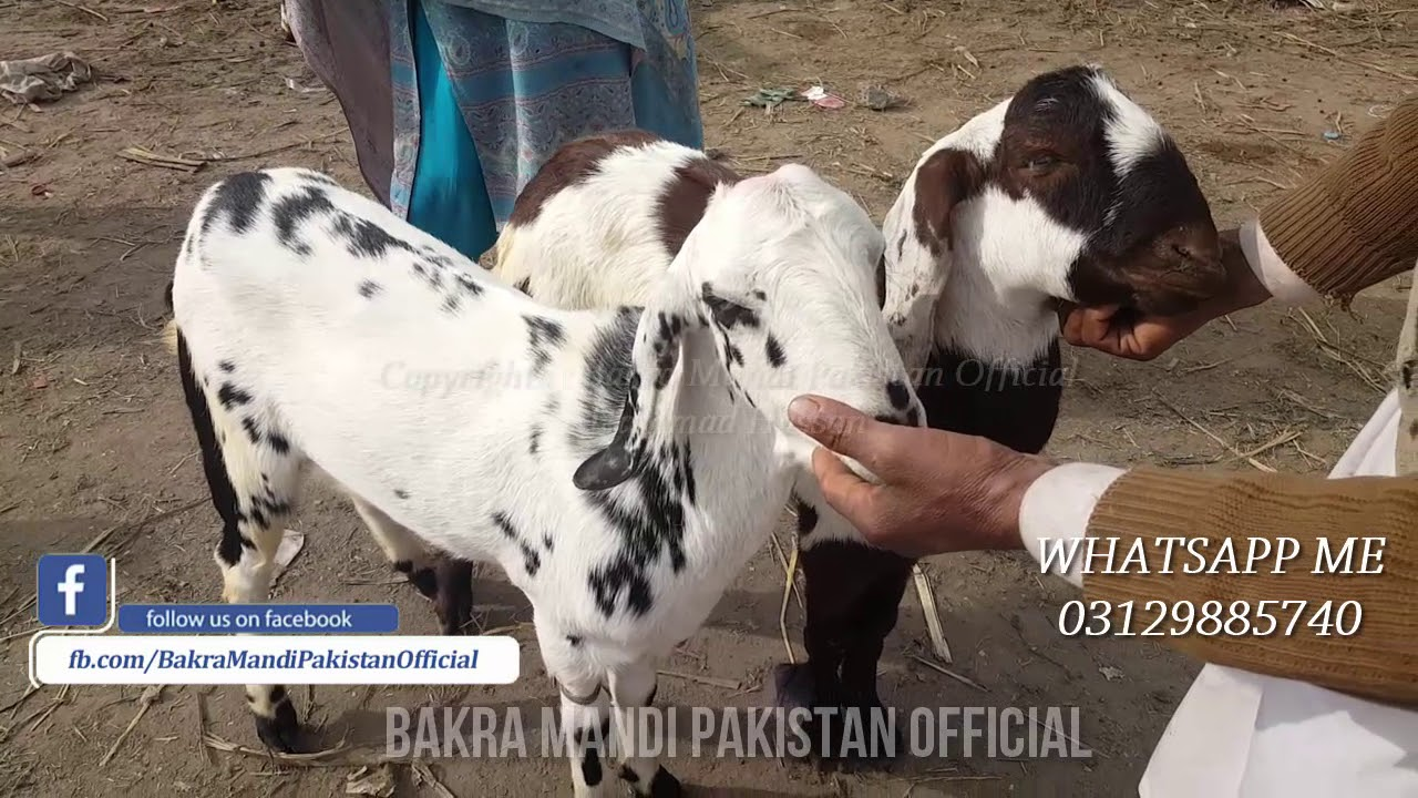 Bakra Mandi - 2018 - Bakra Eid - Lahore - Karachi