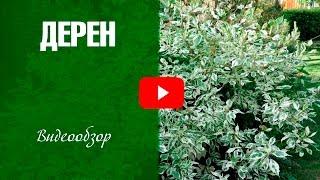 Дерен ✅ Сорта ✅ Как украсить сад декоративным кустарником?