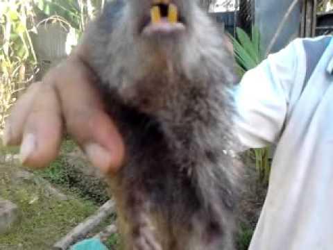 chuột cống nhum (tieutoantoan)