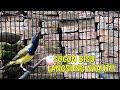 Ampuh Pancingan Sogon Bahan Agar Cepat Bunyi Dan Gacor  Mp3 - Mp4 Download