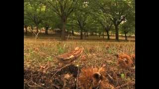 Sernancelhe,  produção de castanha martainha
