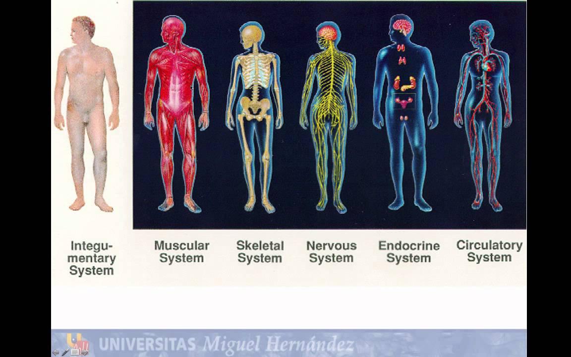 Lec001 Introducción a la Anatomia Humana (umh1158 2014-15) - YouTube