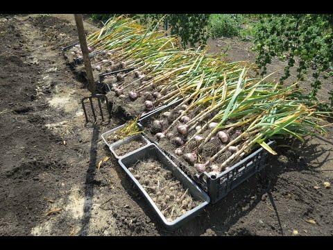 Вопрос: Для мульчирования посадок картофеля можно использовать опилки?