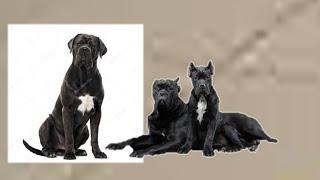 Кане-корсо и Вольерный кашель у собаки .Трахеит у  Кане-корсо .