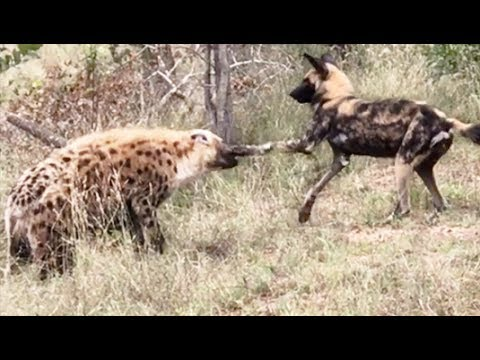 Image of: Safari Wild Dog Hyena Punching Match Youtube Wild Dog Hyena Punching Match Youtube