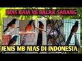 JENIS JENIS MURAI BATU EKOR HITAM / murai batu NIAS yang Ada Di Indonesia SAAT INI