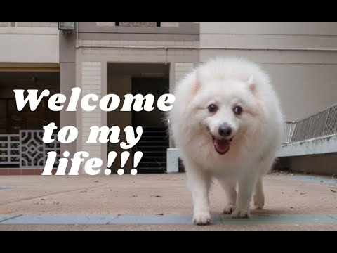 Diary 1: Life of a Japanese Spitz
