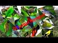 Kombinasi Suara Pikat Burung Besar Dan Kecil Durasi Panjang  Mp3 - Mp4 Download