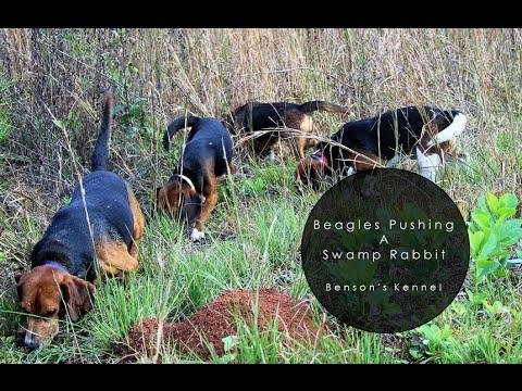 Beagles Pushing A Swamp Rabbit Benson S Kennel Youtube