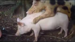 Pig Mating Long Time & Big Sow and Small Boars    Animal Mating    Pos Tv