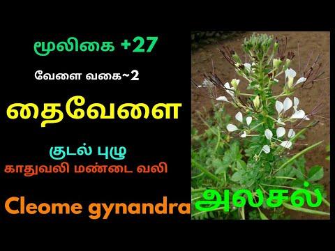தைவேளை மூலிகை|Cleome gynandra herbal plant|thaivelai plant|