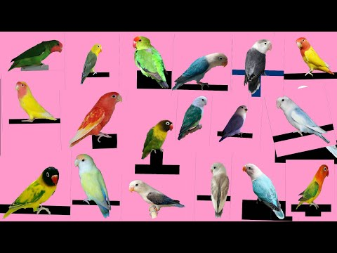 Top 26 Different type of Love Bird