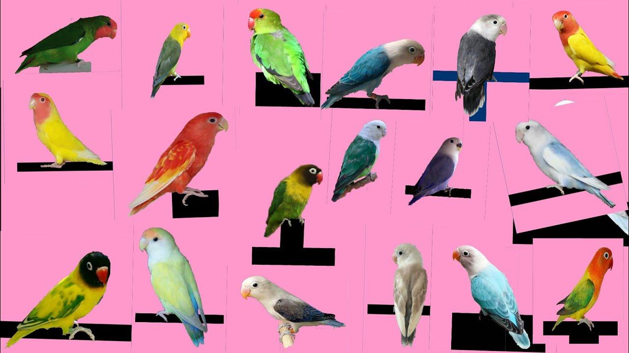 Top 26 Type Of Love Bird Youtube