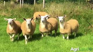 Aber-cross ewe lambs