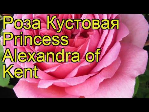 Роза кустовая Princess Alexandra of Kent. Краткий обзор, описание характеристик, где купить саженцы
