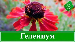 Цветы гелениум – посадка и уход; выращивание гелениума из семян; гелениум осенний