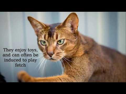 Abyssinian - medium-sized cat