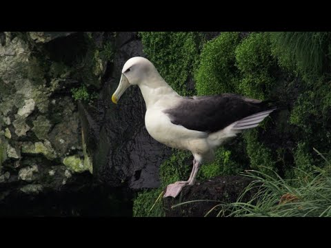 Nature Moment - Flying Albatrosses