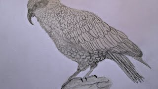 Kea drawing. Кеа рисунок