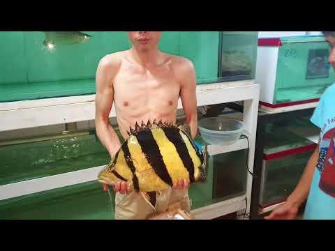 Siamese Tiger Fish , 4.5 Kg , Super High Body