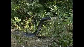 Cobra in attack mode in central India