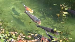 モネの池 2016 秋
