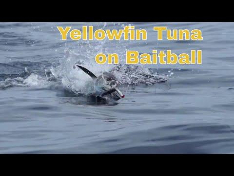 Full Video Tuna On Bait Ball Action In Zancudo Lodge Golfito Costa Rica.