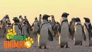 PENGUINS: Animals for children. Kids videos. Kindergarten | Preschool learning