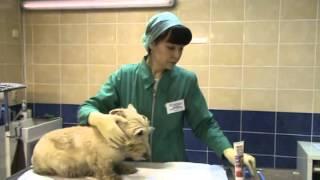 Как правильно чистить зубы собаке дома(Здравствуйте! Я Кулькова Надежда Петровна, старший ветеринарный врач, специалист по ветеринарной стоматол..., 2013-03-05T09:52:20.000Z)