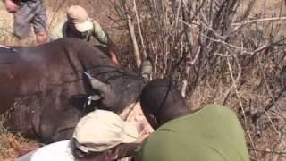 Zimbabue corta los cuernos de sus rinocerontes para protegerlos