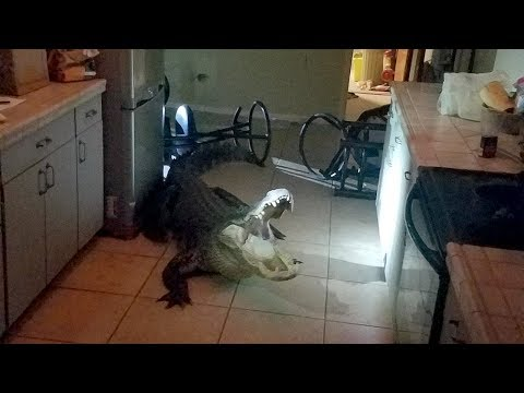 DZL - 11 ft. Gator broke through glass to get in to woman's home & drank her wine