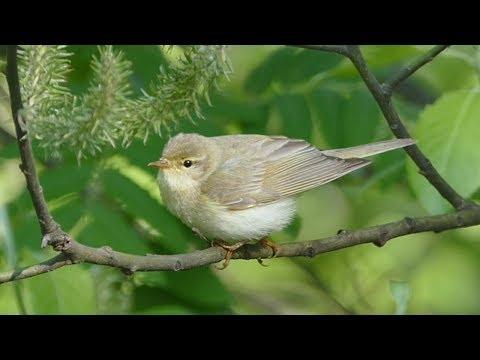 Вопрос: Что за птица Пеночка Что о ней известно?