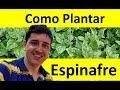 Como Plantar Espinafre passo a passo da Germinação até a Colheita