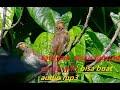 Satu Jam Audio Kicau Burung Cucak Wilis Gunung Bisa Buat