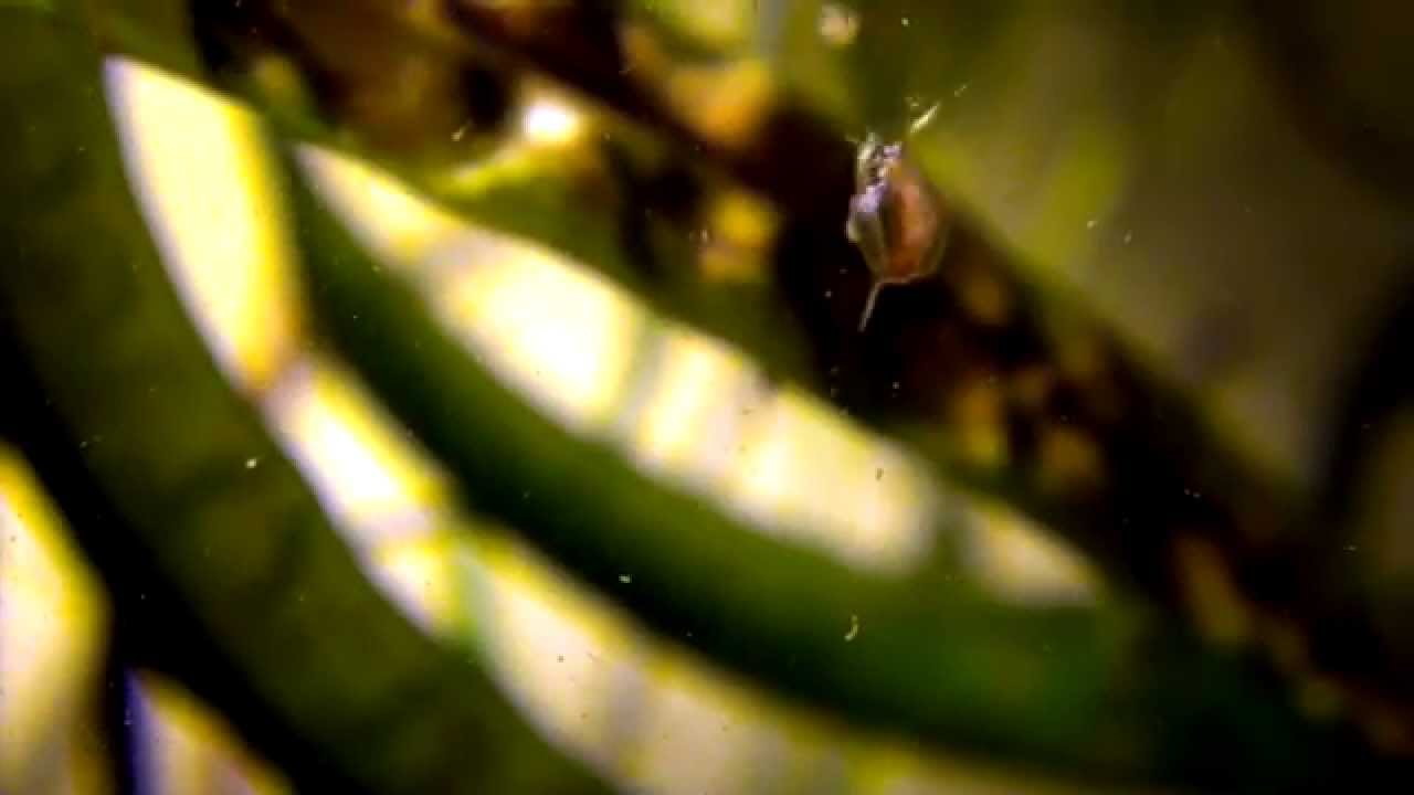 Water Fleas Daphnia Sp In Fish Tank Youtube